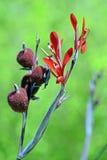 印度的Canna的红色花 免版税图库摄影