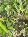 印度的MANGIFERA,家庭:ANACARDIACEA,土产对东亚 库存照片