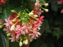 印度的Quisqualis或Combretum indicum花 库存照片