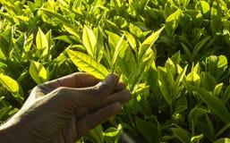 印度种植园茶 免版税库存图片