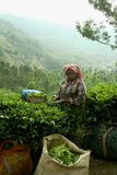 印度种植园茶 库存图片