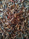 印度红胡椒 免版税库存图片