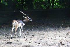 印度羚 库存照片