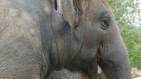 印度象吃在篱芭后的草在看法的动物园关闭 影视素材