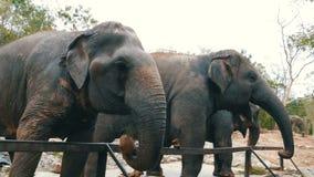 印度象在动物园吃在篱芭后的草 股票视频