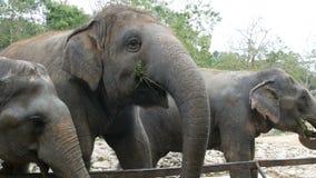 印度象在动物园吃在篱芭后的草 股票录像
