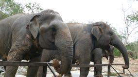 印度象在动物园吃在篱芭后的草 影视素材