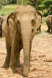 印度象特写镜头 免版税库存图片