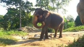 印度象由热带密林走在泰国,酸值Phangan海岛 影视素材