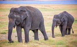 印度象-母亲和婴孩 库存照片