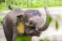 年轻印度象 库存照片