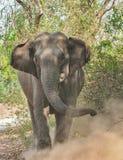 印度象 库存照片