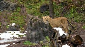 印度雌狮在witner动物园里 免版税库存照片
