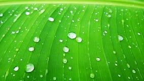 印度香蕉绿色叶子植物 免版税库存图片