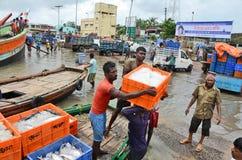 印度鲥鱼 库存照片