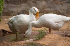 印度鹅 免版税图库摄影