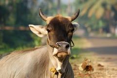 印度,喀拉拉,南印度的圣牛的画象 库存照片