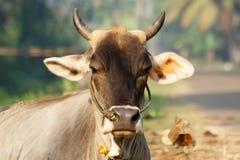 印度,喀拉拉,南印度的圣牛的画象 免版税图库摄影