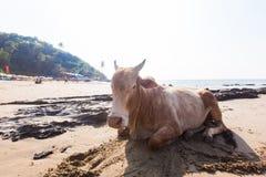 印度,在海滩、棕榈树和高地的一头母牛 库存图片