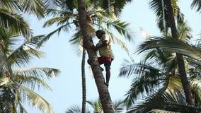 印度,果阿- 2011年12月:爬收获椰子的印地安人一棵棕榈树 影视素材