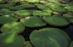 印度洋毛里求斯PAMPLEMOUSSES庭院 图库摄影