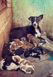 印度 瓦腊纳西 与11只新出生的小狗的无家可归的她狗 库存图片
