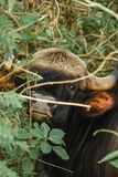 印第安北美野牛 库存照片