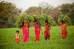 印第安妇女在农田工作 库存照片