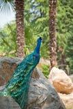 印第安孔雀 免版税图库摄影