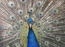 印第安孔雀纵向 免版税库存照片
