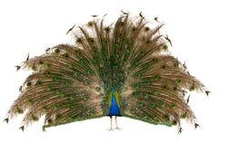 印第安孔雀 免版税库存图片