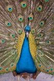 印第安孔雀 免版税库存照片