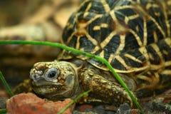 印第安星形草龟 库存照片