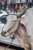 印第安母牛 库存照片