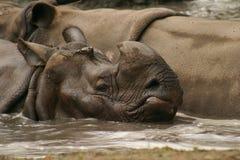 印第安犀牛 免版税库存照片