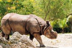 印第安犀牛 图库摄影