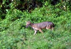 印第安狐狼 免版税图库摄影