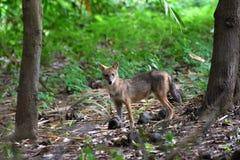 印第安狐狼 免版税库存图片