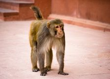 印第安猴子 免版税图库摄影
