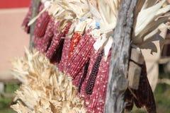 印第安玉米采摘 免版税库存图片