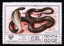 印第安眼镜蛇或者眼镜蛇眼镜蛇,毒蛇系列,大约1977年 库存照片