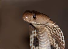 印第安眼镜蛇的特写镜头 免版税图库摄影