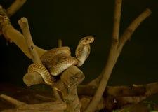 印第安眼镜蛇 免版税库存照片