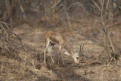 印第安瞪羚 图库摄影