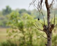 印第安知更鸟 免版税图库摄影