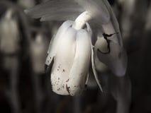 印第安管笛& x28; 水晶兰属uniflora& x29; 免版税图库摄影