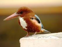 印第安翠鸟 免版税库存照片