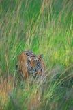 印第安老虎 免版税库存照片