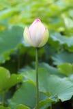 印第安莲花莲属nucifera 库存照片