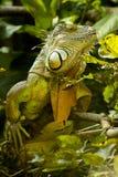 印第安蜥蜴 库存图片